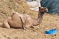 20191213 Wielbłąd jednogarbny na farmie pod Bikanerem 1354 8441.jpg