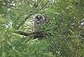 2019 Long-eared owl, Asio otus, juvenile.jpg