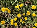 2021-04-04 14 35 20 Dandelions blooming in a lawn along Allness Lane in the Chantilly Highlands section of Oak Hill, Fairfax County, Virginia.jpg