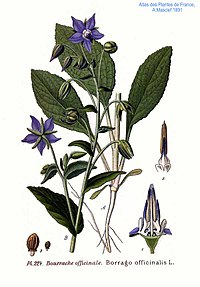 224 Borrago officinalis L.jpg