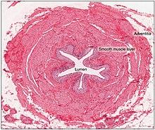 Ureter - Wikipedia- Wikipedia