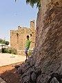 300 летний эвкалипт. Фамагуста. Северный Кипр. Июнь 2012 - panoramio.jpg