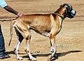 3186-great-dane-dog-breeds (20313764130).jpg