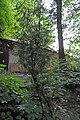 46-101-5035 Lviv Mushaka 54 Chamaecyparis RB 18.jpg
