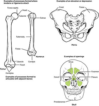 Anatomical terms of bone - Different types of bone markings and features.