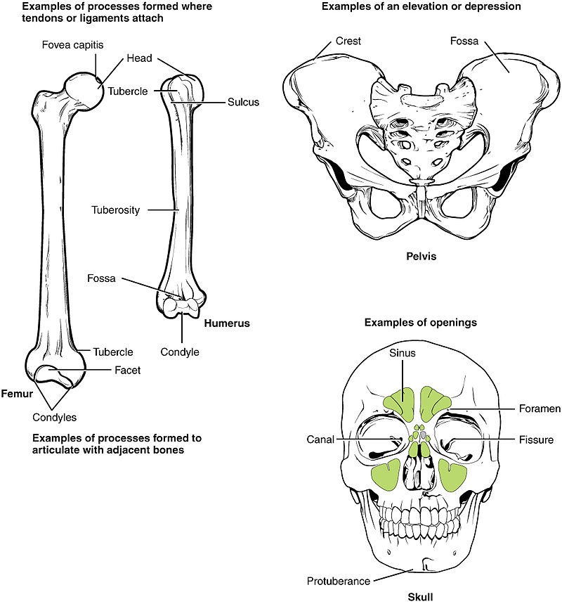 Anatomical terms of bone - Wikiwand