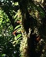 8191-Aeschynanthus sp.-Gunung Kemiri.jpg