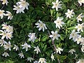 Aнемона дібровна (Anemone nemorosa) 02.jpg