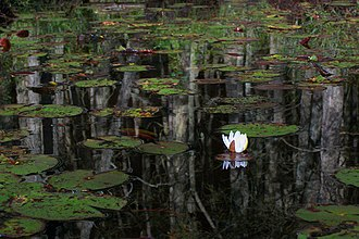 Pine Barrens (New Jersey) - Water lily and reflected Atlantic white cedar trunks on the Oswego River