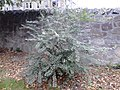 AZ0118. Ulmus minor. Ravelston Park, Edinburgh (03).jpg