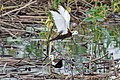 A Pheasant Tailed Jacana in Courtship (50188559997).jpg