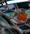 A Robin at Craigellachie - geograph.org.uk - 1609849.jpg