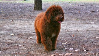 Spanish Water Dog - A brown colour SWD