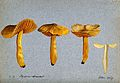 A fungus (Hygrocybe obrussea); four fruiting bodies, one sec Wellcome V0043393.jpg