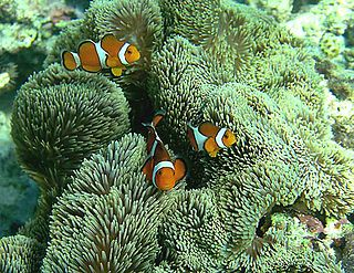 <i>Stichodactyla gigantea</i> Species of sea anemone