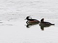 A pair of hooded mergansers on the Missouri River, Great Falls. (39077043631).jpg