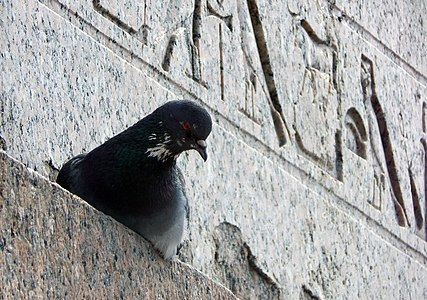 A pigeon near Sphinxes in St. Petersburg
