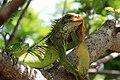 A refeiçao do iguana.jpg