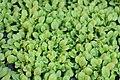 A thaliana seedlings (cropped).jpg