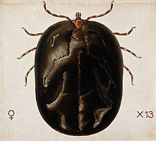 A tick (Amblyomma hebraem). Coloured drawing by A.J.E. Terzi Wellcome V0022542.jpg