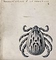A tick (Dermacentor salmoni). Pen and ink drawing by A.J.E. Wellcome V0022608EL.jpg
