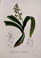 A tropical orchid (Epidendrum variegatum); flowering stem an Wellcome V0044616.jpg
