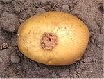 Aardappelschurft (Streptomyces scabies on potato).jpg