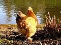 Abbey chicken - geograph.org.uk - 1203380.jpg