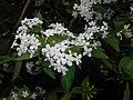 Abelia mosanensis 2016-05-31 1522.jpg