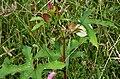 Abelmoschus manihot ssp tetraphyllus W IMG 2166.jpg