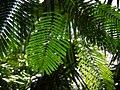 Acacia in Tropical Garden (5307152659).jpg