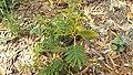 Acacia koa study 5.jpg