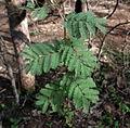 Acacia leucophloea01.JPG