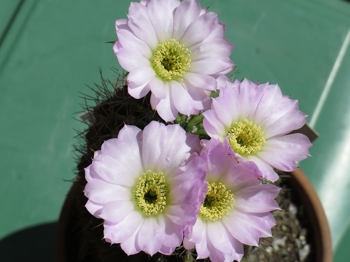 Acanthocalycium Spiniflorum Wikipedia