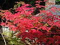 Acer japonicum - Daikakuji,Kyoto 大覚寺のハウチワカエデ DSCF0903.JPG