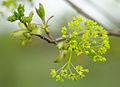Acer platanoides - flowers 01.jpg