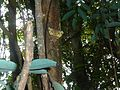 Achaea praestans, Krantzkloof Natuurreservaat, b.jpg