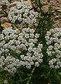 Achillea millefolium1.jpg