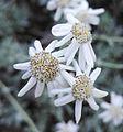 Achillea serbica Nyman (Asteraceae)-3F.jpg