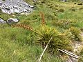 Aciphylla sp Mount Cook 2.JPG