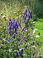 Aconitum carmichaelii Kelmscott - Flickr - peganum.jpg