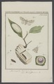 Acronycta - Print - Iconographia Zoologica - Special Collections University of Amsterdam - UBAINV0274 003 06 0006.tif