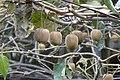 Actinidia chinensis 2.jpg