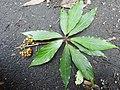 Actinodaphne bourdillonii Andiparai DSCN0476.JPG