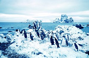 Adelie penguins at Cape Geddes Laurie Island 1962.jpg
