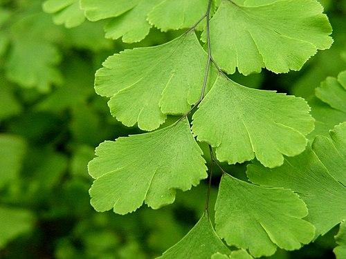 500px adiantum capillus veneris (2)