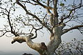 Adorned tree kandikonda hillock panoramic view.JPG