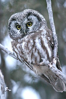 Reverse sexual dimorphism in great grey owls