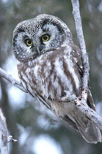 Boreal owl - Amherst Island, Ontario, Canada