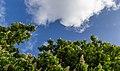 Aesculus hippocastanum, Christchurch City, New Zealand 15.jpg